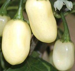 HABANERO WHITE BULLET